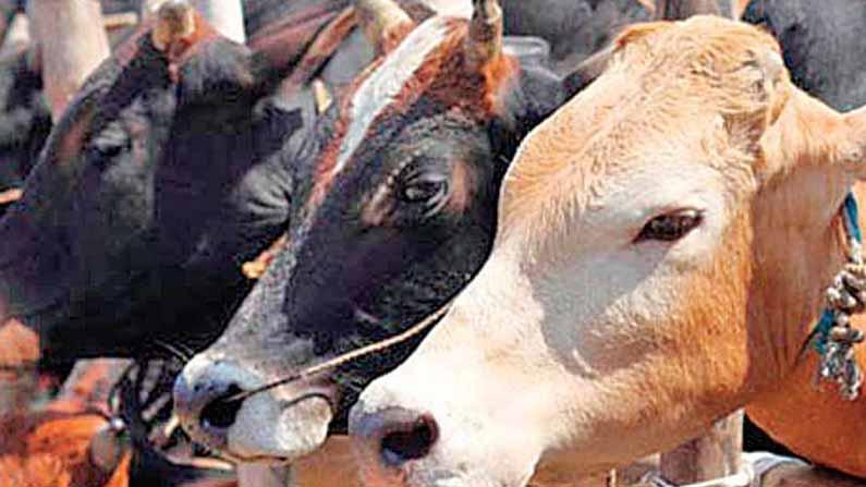 Cow Science Exam