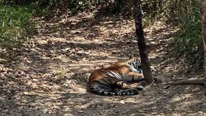 Tiger Attack in belagavi