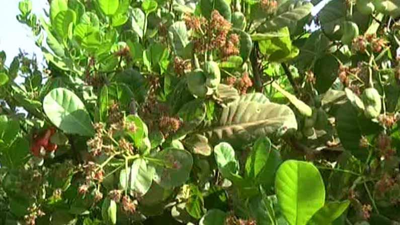Cashew crop